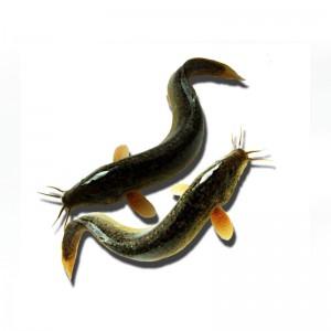 鲜活泥鳅5斤