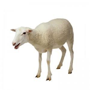 养殖基地鲜活小羊崽